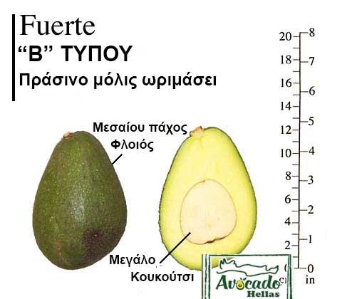 Ποικιλία Αβοκάντο (Avocado) Fuerte