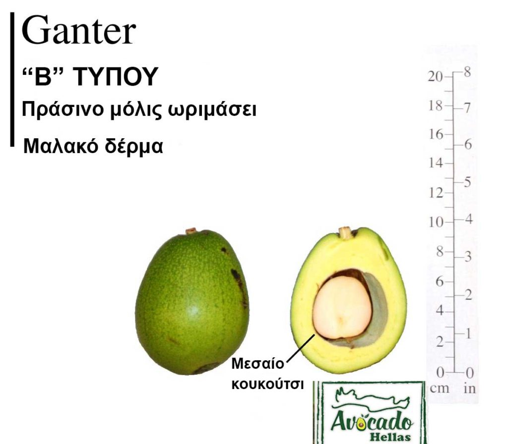 Ποικιλία Αβοκάντο (Avocado) Ganter