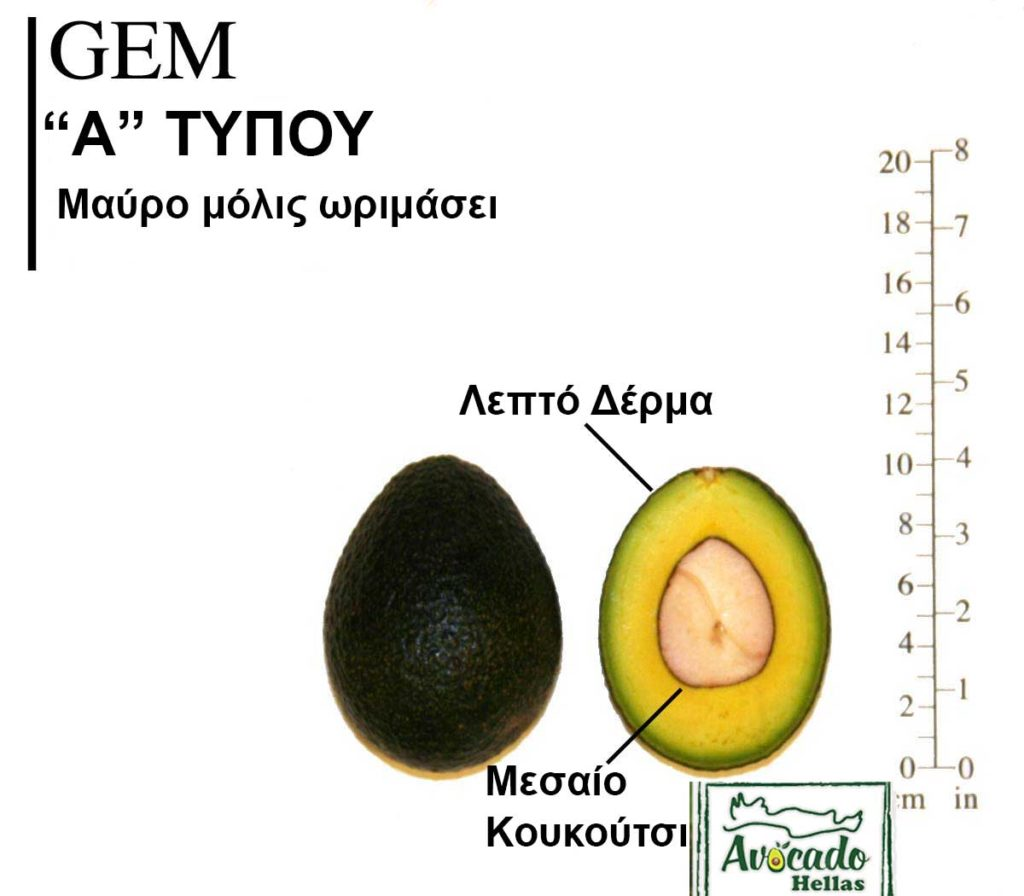 Ποικιλία Αβοκάντο (Avocado) Gem