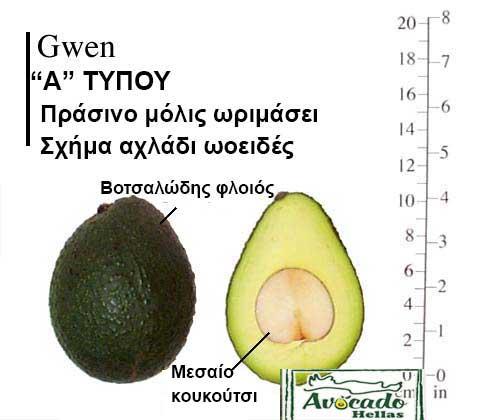 Ποικιλία Αβοκάντο (Avocado) Gwen
