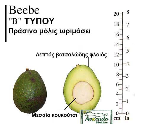 Ποικιλία Αβοκάντο Κρήτης Beebe