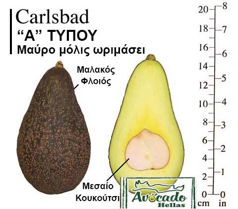 Ποικιλία Αβοκάντο (Avocado) Carlsbad
