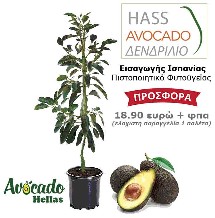 Spanish avocado with a certificate of plant health