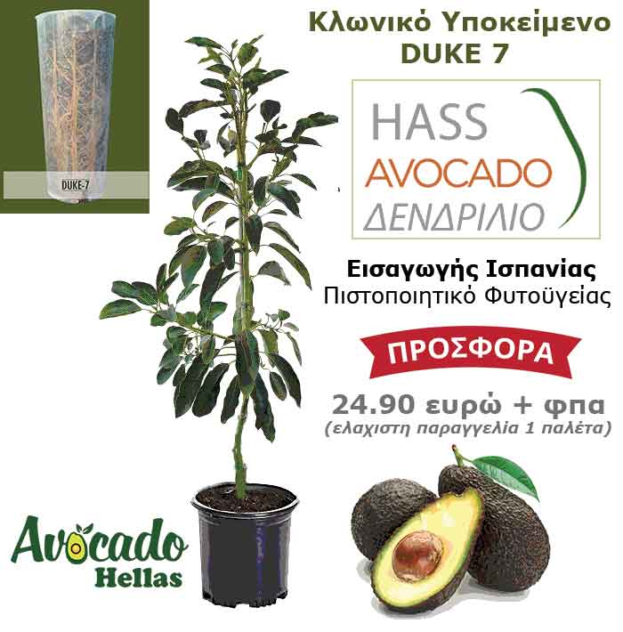 Clonal Avocado Duke 7 - Clown Avocado