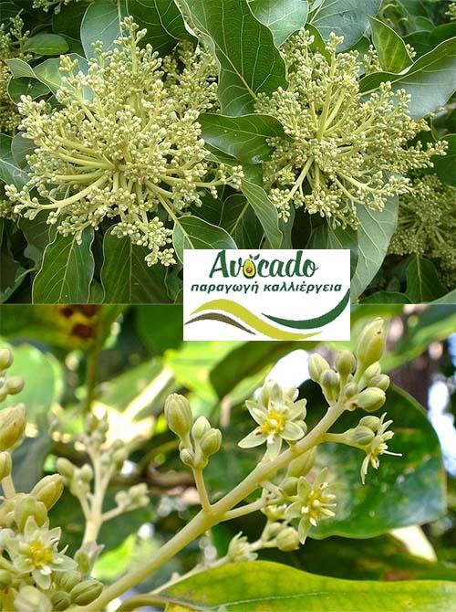 Ανθοί Αβοκάντο - Ανθος λουλουδι αβοκάντου δέντρου ψεκασμος