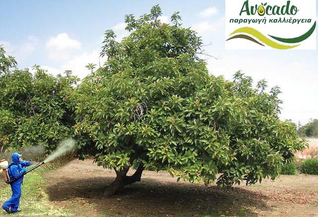 ψεκασμα αβοκαντο-ψεκασμοι- καλλιέργεια-ανθοφορια
